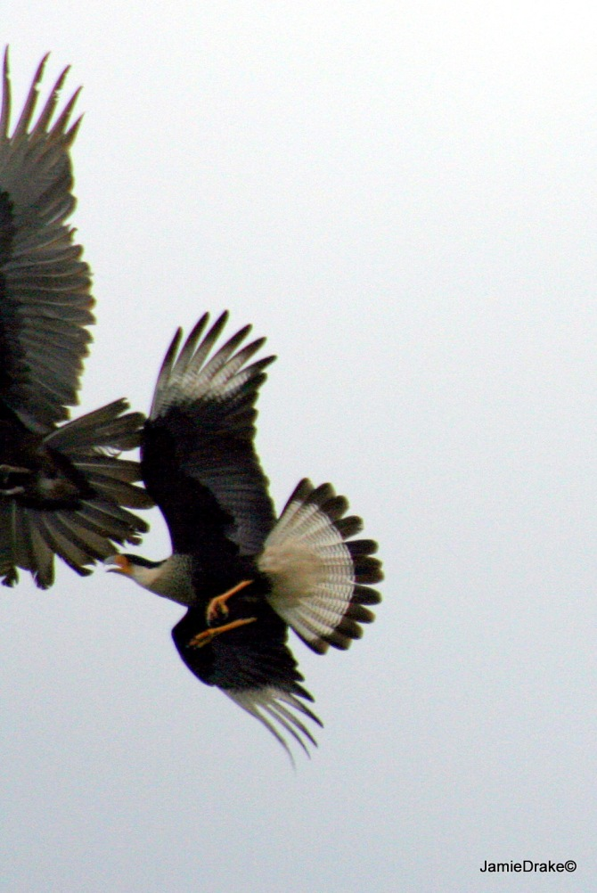 An Adult Caracara chases a Black Vulture at Viera Wetlands.