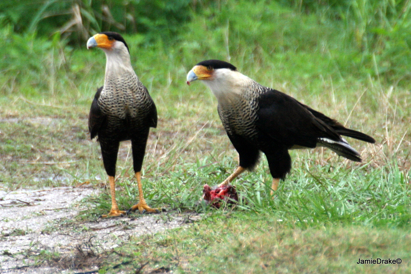 Mated pair of caracara will stay together for life although they