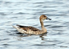 Female Northern Pintail Duck