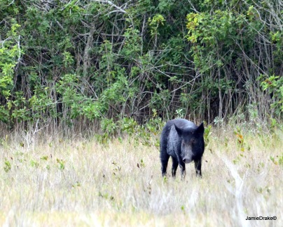 Wild Hogs are everywhere in Florida.