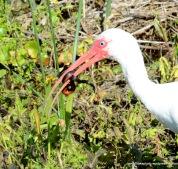 White Ibis w/ snake