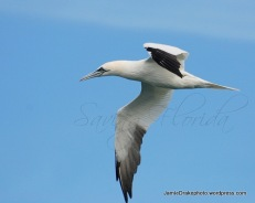 Adult Northern Gannet
