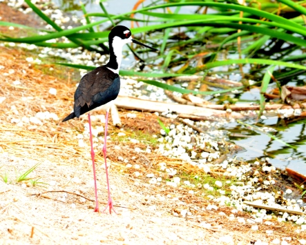 Black Necked Stilt with a really busy background!