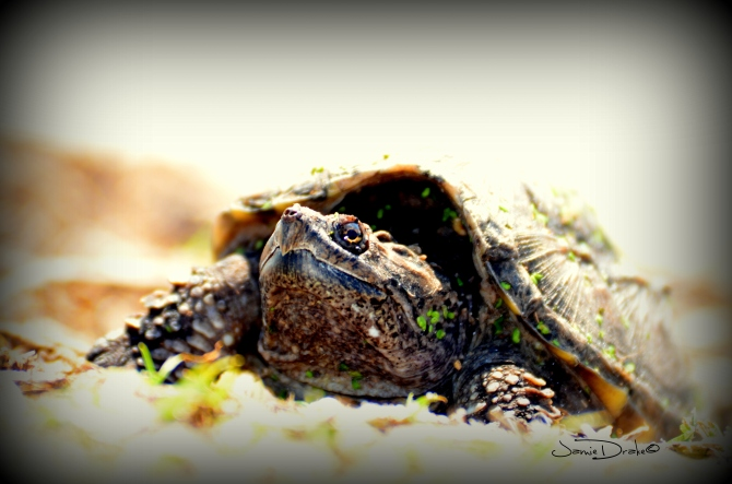 Snapping Turtles are Beautiful too.