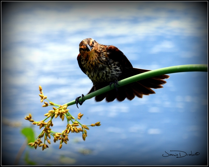 A Female Red Winged Black bird perches precariously on a reed