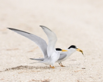 Not so Sharp Photo of Least Terns Feeding