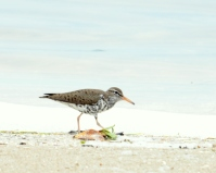 Spotted Sandpiper at the Port Canaveral Locks/Avocet Lagoon
