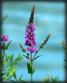 Blazing Star? Lupine? I don't know... I'm waiting on a Field Guide.