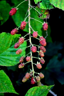 Wild Rasberries... they smell awesome.