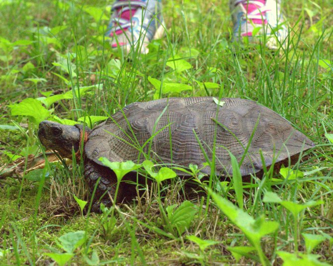 Wood Turtle, Pine Grove, PA