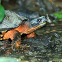Pennsylvania Wood Turtle