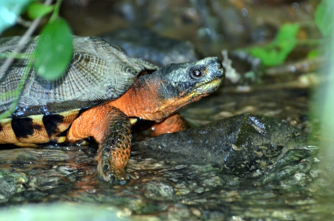 Wood Turtle, Schuykill, PA