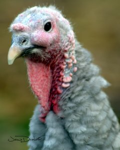Turkey's are wonderful inquisitive creatures.  I found it hard to reconcile eating ours.